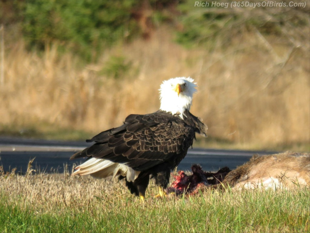 08-Bird-Roadside-Cafe-Bald-Eagle-Bad-Hair-Day