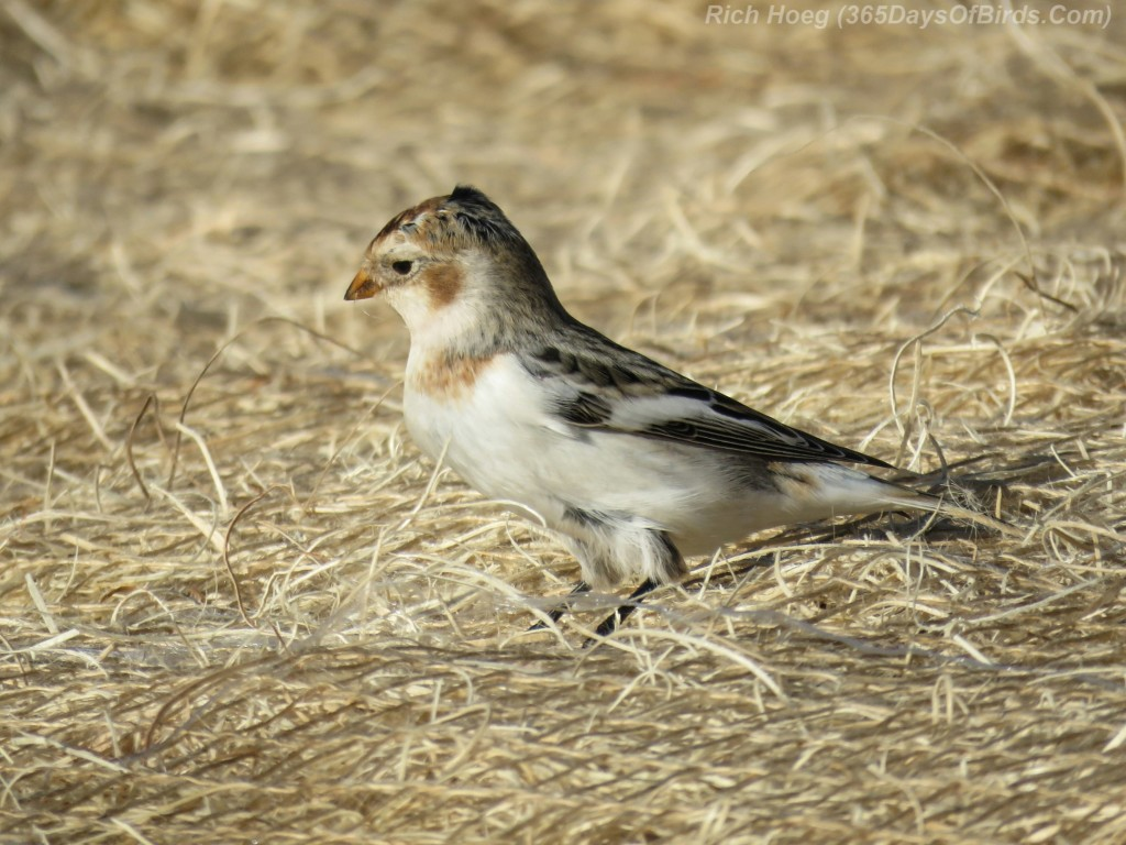 11-Bird-Cut-Face-Creek-Snow-Bunting