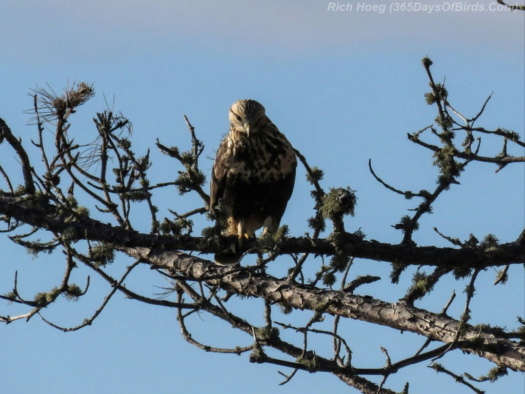 14-Bird-Rough-Legged-Hawk-1