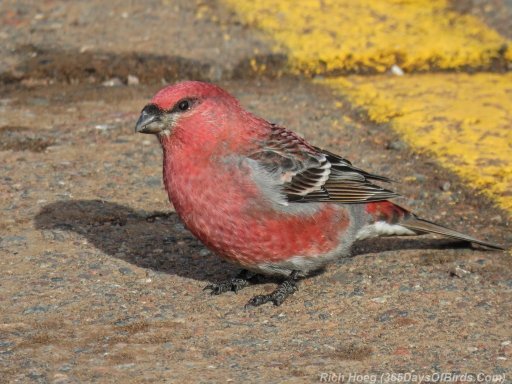 Boreal-Forest-Pine-Grosbeak-3