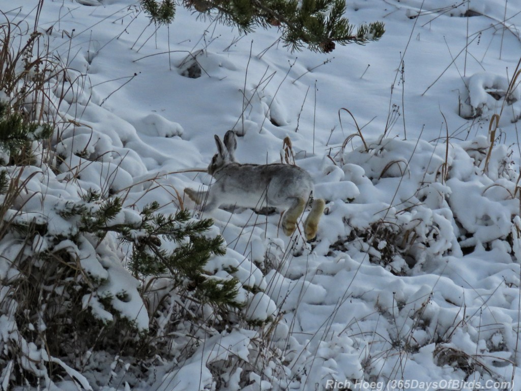 Boreal-Forest-Snowshoe-Hare-2