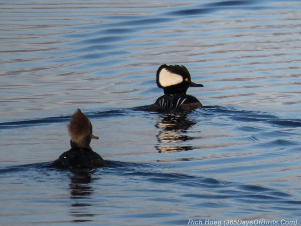 Y2-M11-Morning-Reflections-Hooded-Mergansers
