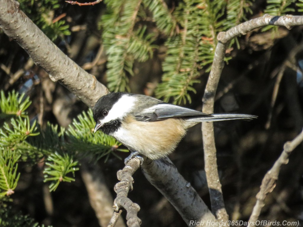 Y2-M12-Old-Vermilion-Trail-Chickadee-1