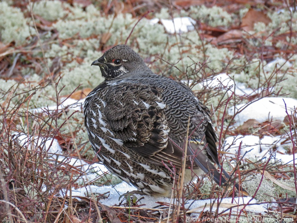 Y2-M12-Pagami-Creek-Wildfire-Spruce-Grouse-B