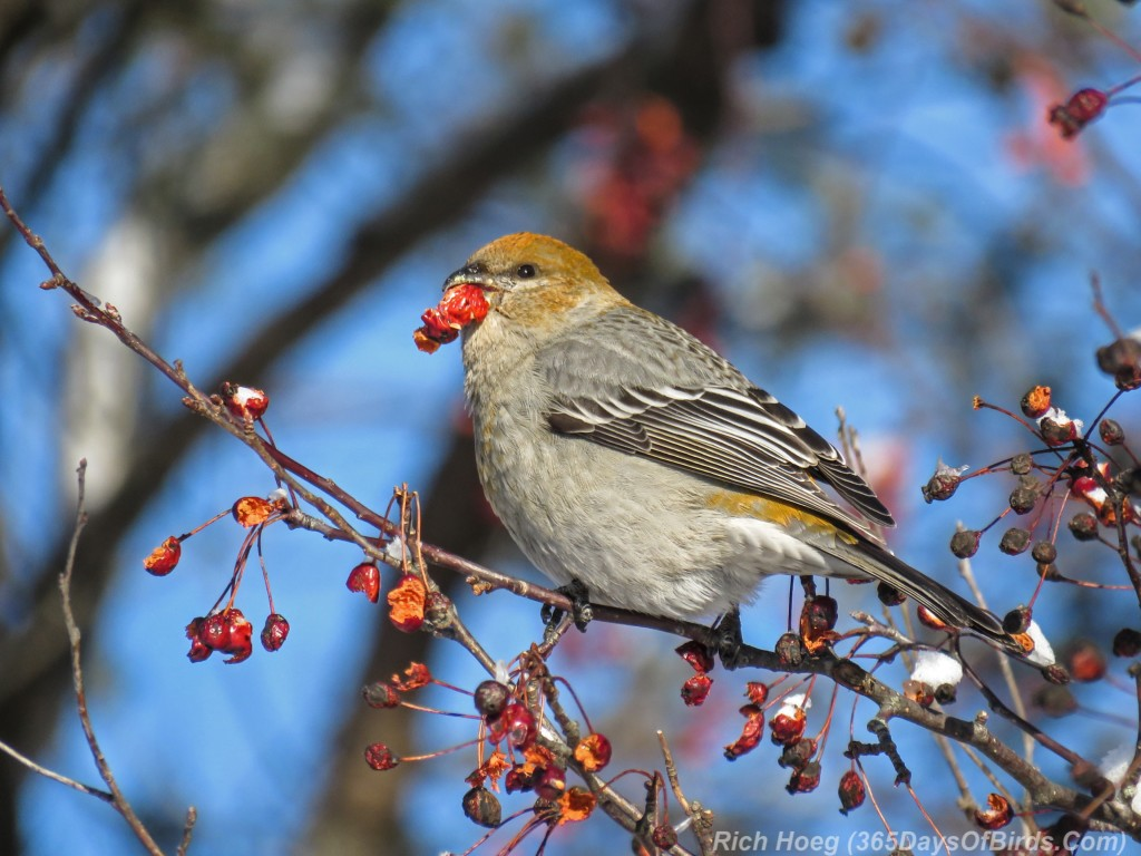 Y2-M12-Riley-Road-Pine-Grosbeaks-2