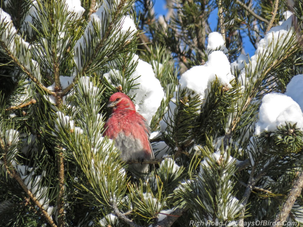 Y2-M12-Riley-Road-Pine-Grosbeaks-4