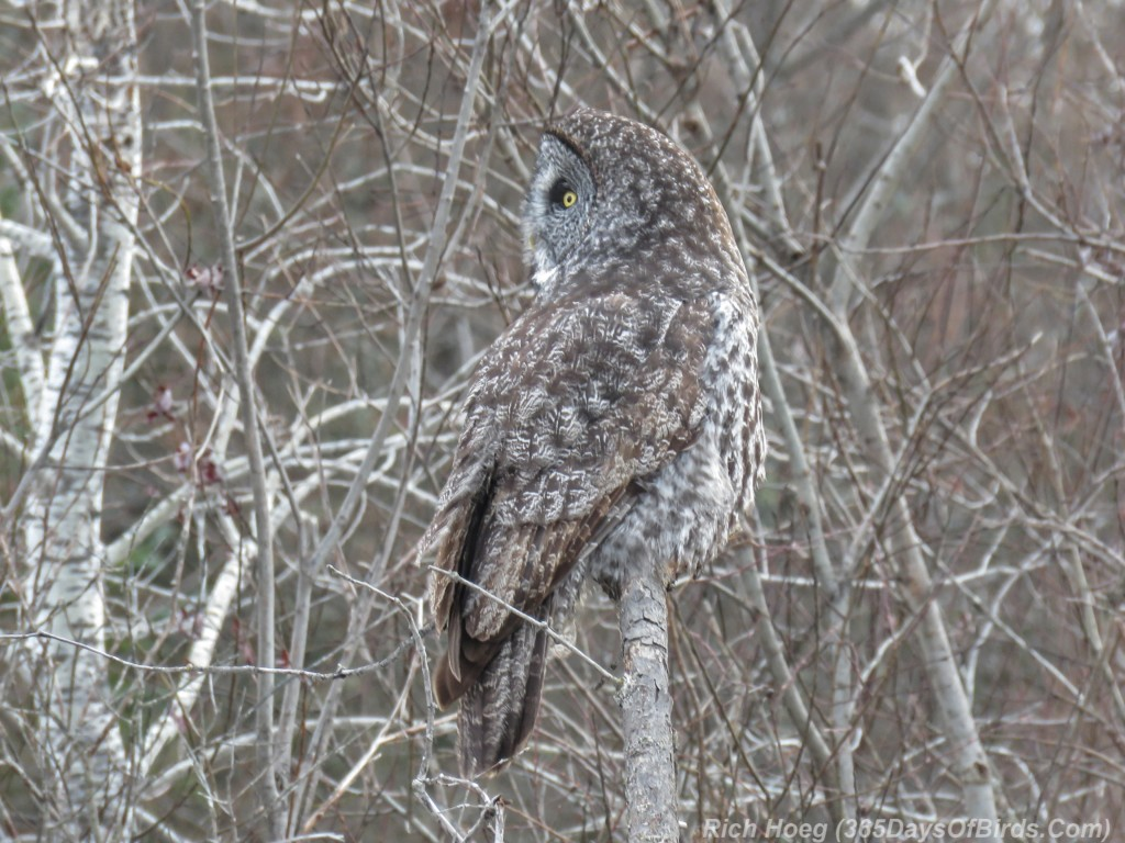 Y2-M12-Sax-Zim-Bog-Great-Gray-Owl-1