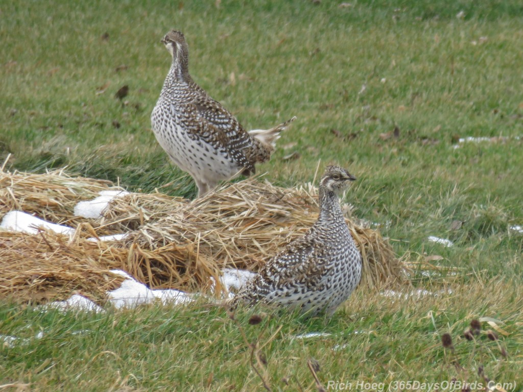 Y2-M12-Sax-Zim-Bog-Sharp-Tailed-Grouse
