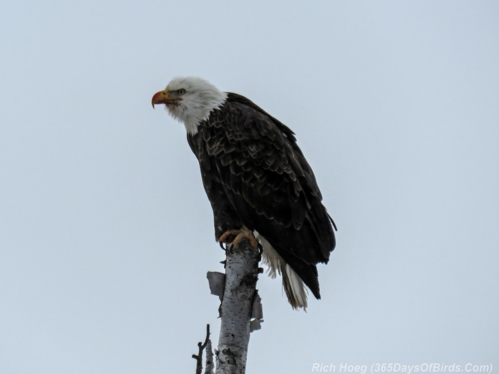 Y3-M01-Gunflint-Trail-Bald-Eagle