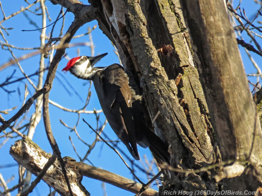Y3-M01-Other-Bird-Pileated-Woodpecker