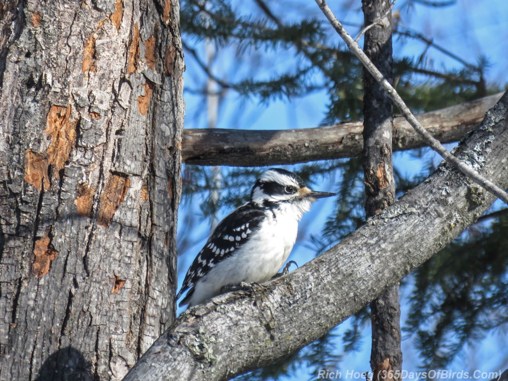 Y3-M02-Sax-Zim-Bog-A-Hairy-Woodpecker