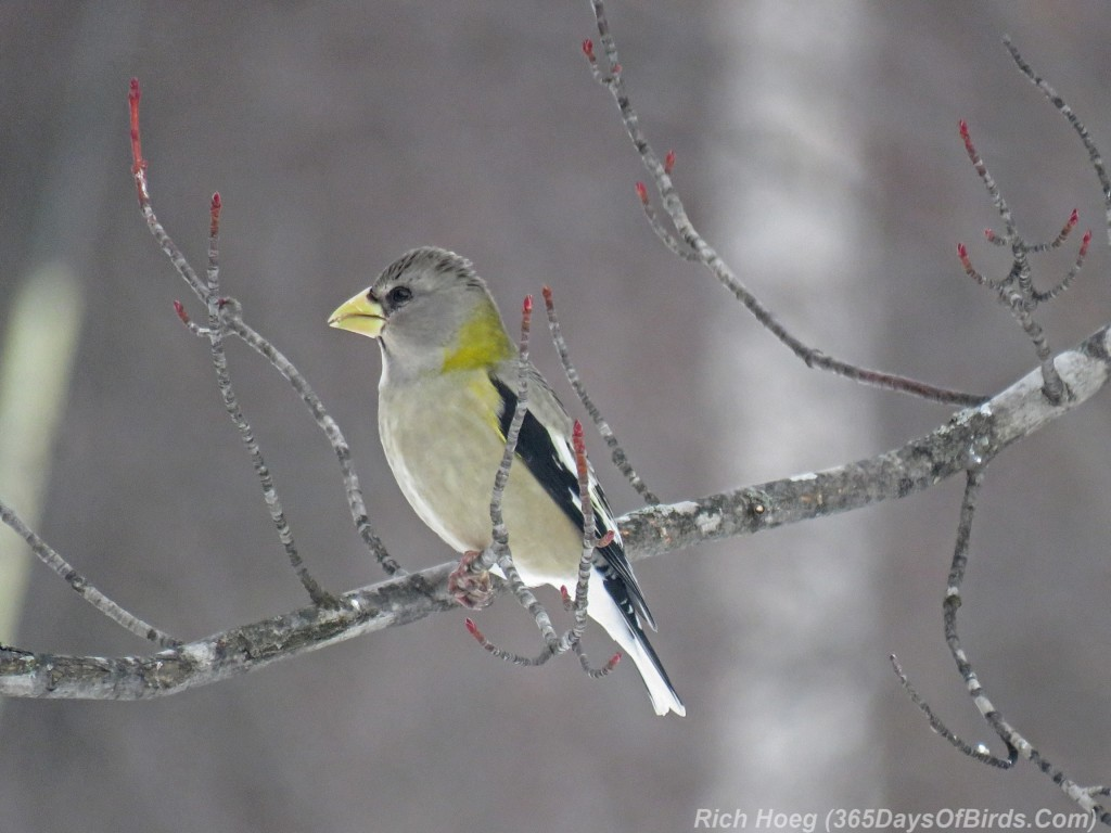 Y3-M02-Sax-Zim-Bog-Evening-Grosbeak-Female