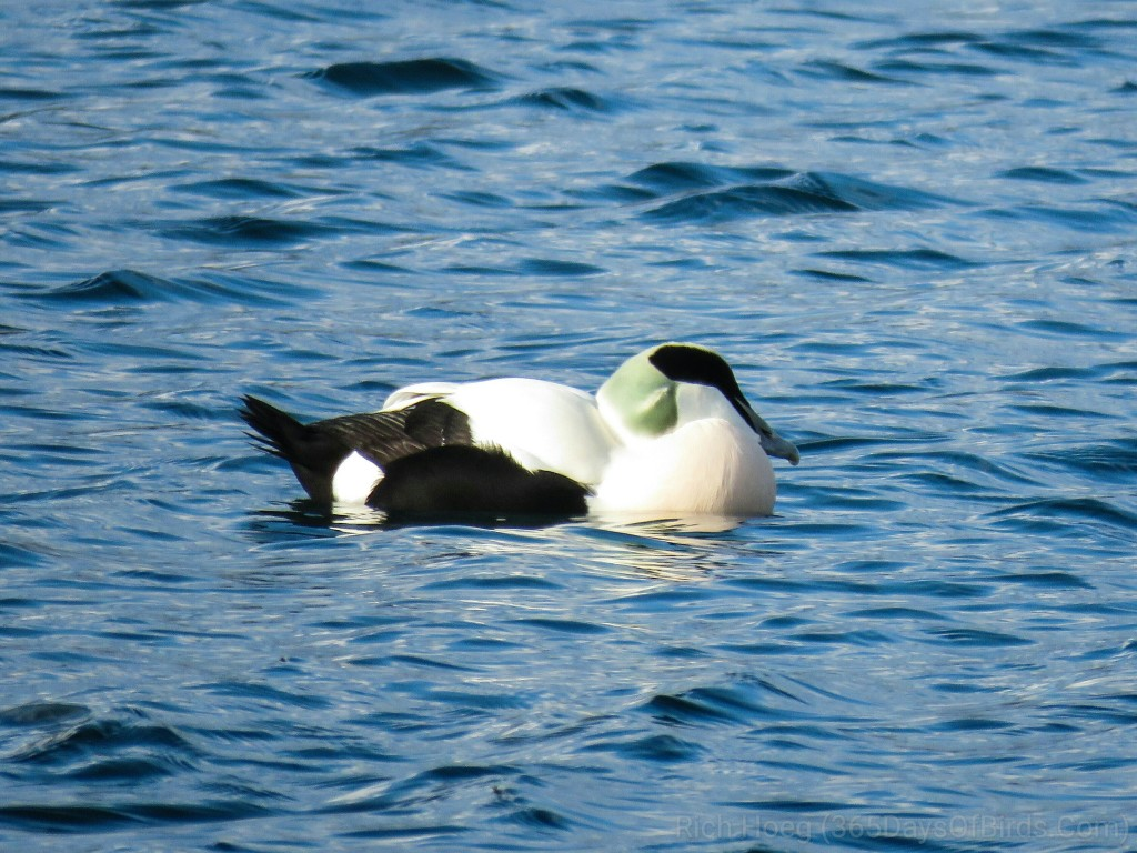 Commen-Eider-a1_wm