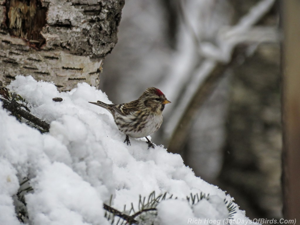 Common-Redpoll-Post-Storm