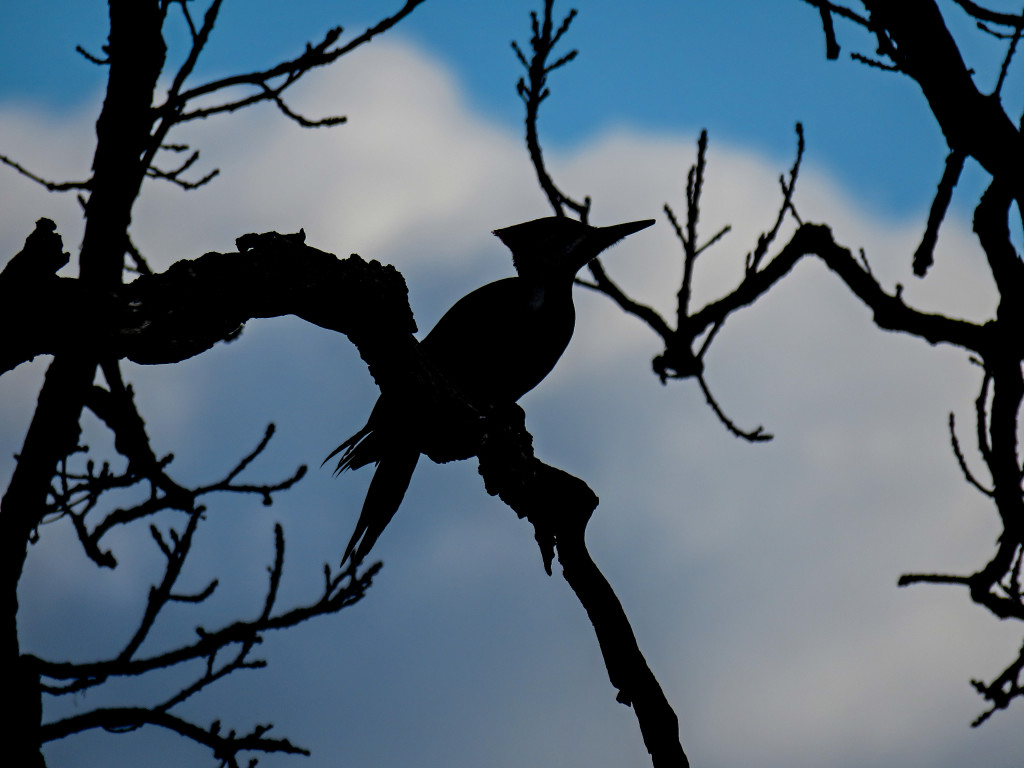 Y3-M03-Minnesota-National-Wildlife-Refuge-Pileated-Woodpecker-Silhouette
