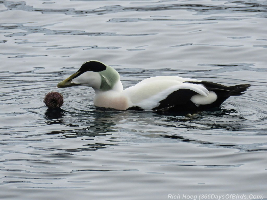 Y3-M03-Norway-Arctic-Birding-1-Common-Eider-Eating