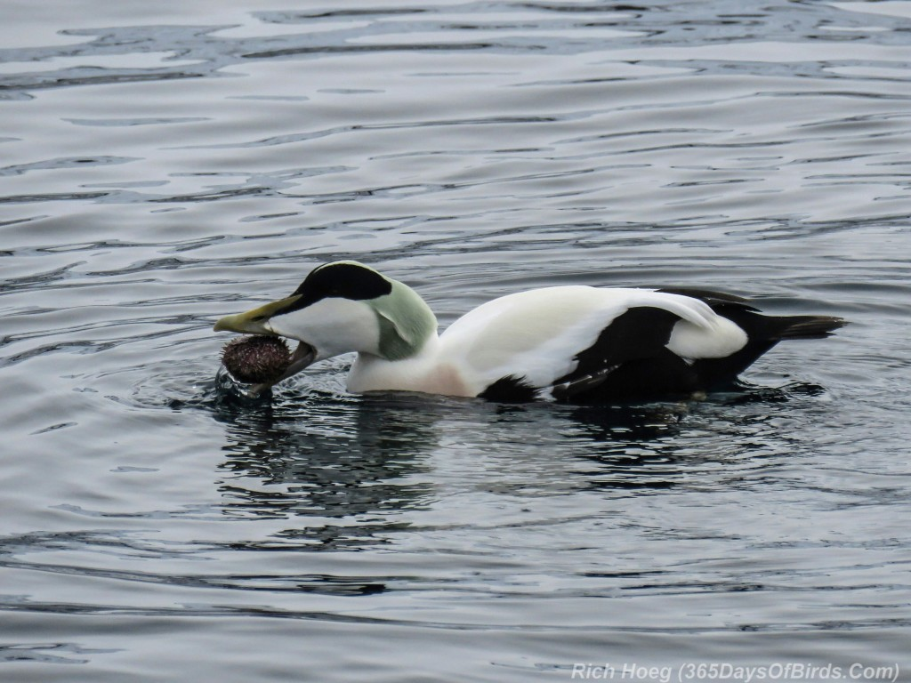Y3-M03-Norway-Arctic-Birding-2-Common-Eider-Eating