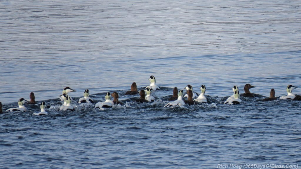 Y3-M03-Norway-Arctic-Birding-Common-Eiders-Flock-1