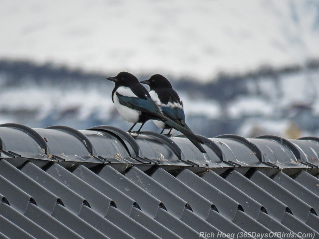 Y3-M03-Norway-Arctic-Birding-Common-Magpies