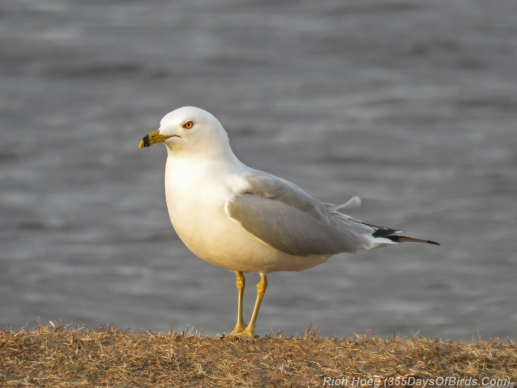Y3-M03-Ring-Billed-Gull-1