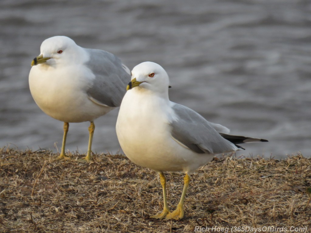 Y3-M03-Ring-Billed-Gull-2