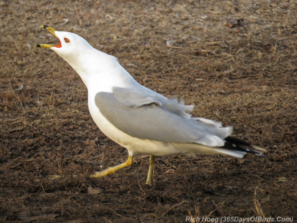 Y3-M03-Ring-Billed-Gull-3