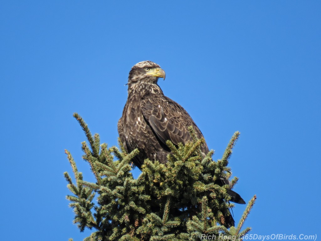 Y3-M03-Signs-Of-Spring-Bald-Eagle-Immature-1