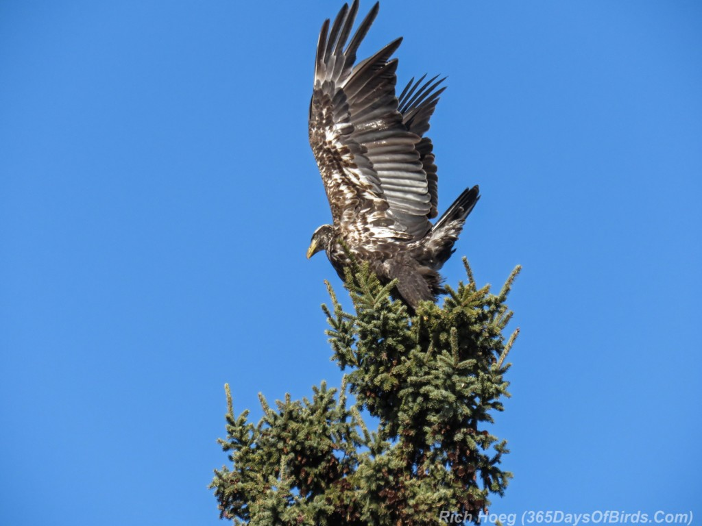 Y3-M03-Signs-Of-Spring-Bald-Eagle-Immature-3