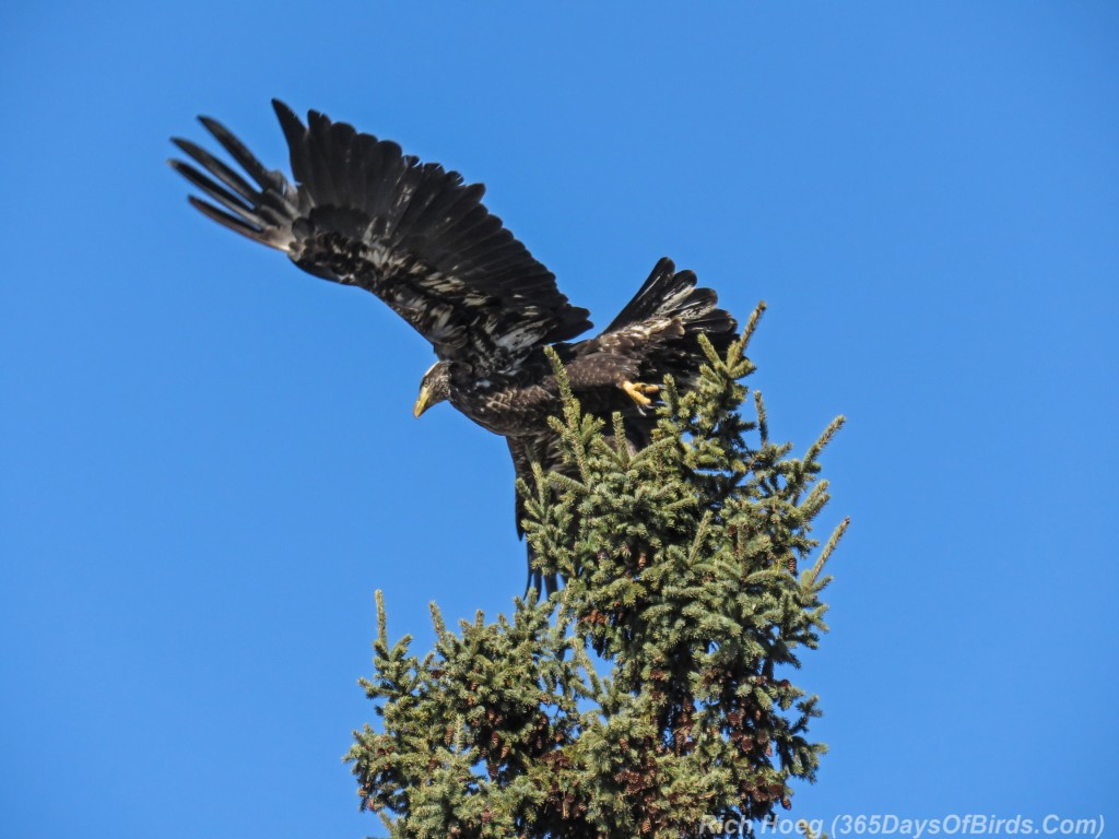 Y3-M03-Signs-Of-Spring-Bald-Eagle-Immature-4