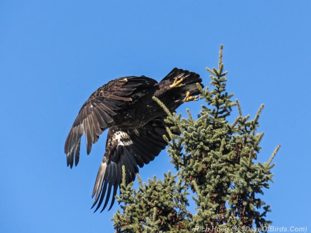 Y3-M03-Signs-Of-Spring-Bald-Eagle-Immature-5