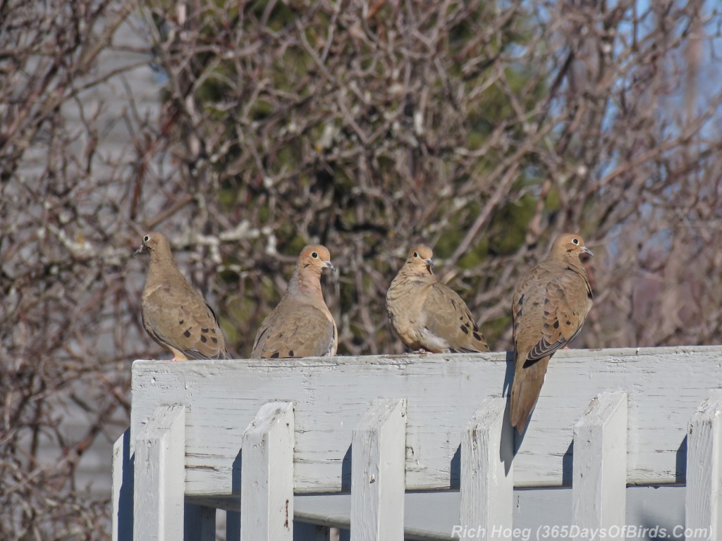 Y3-M03-Signs-Of-Spring-Mourning-Doves-1