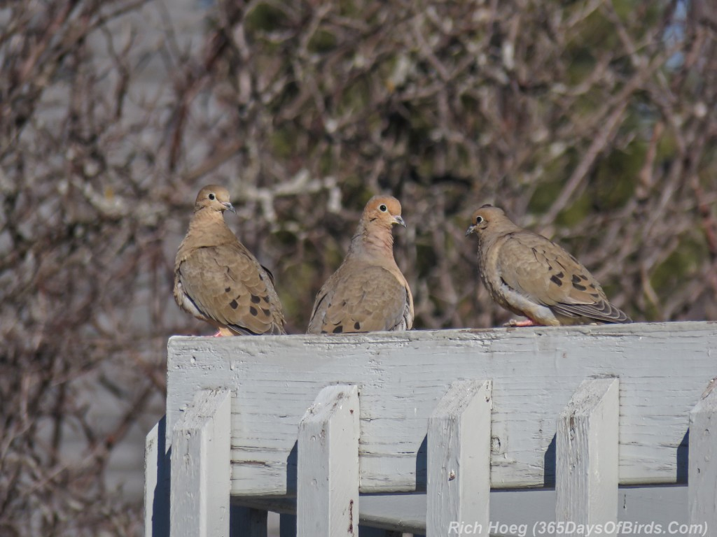 Y3-M03-Signs-Of-Spring-Mourning-Doves-2