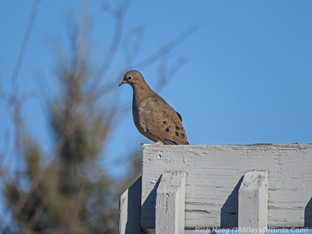 Y3-M03-Signs-Of-Spring-Mourning-Doves-3