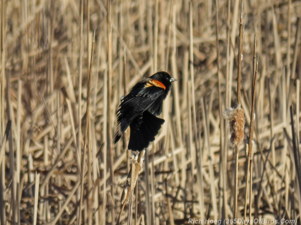 Y3-M03-Signs-Of-Spring-Red-Winged-Blackbird