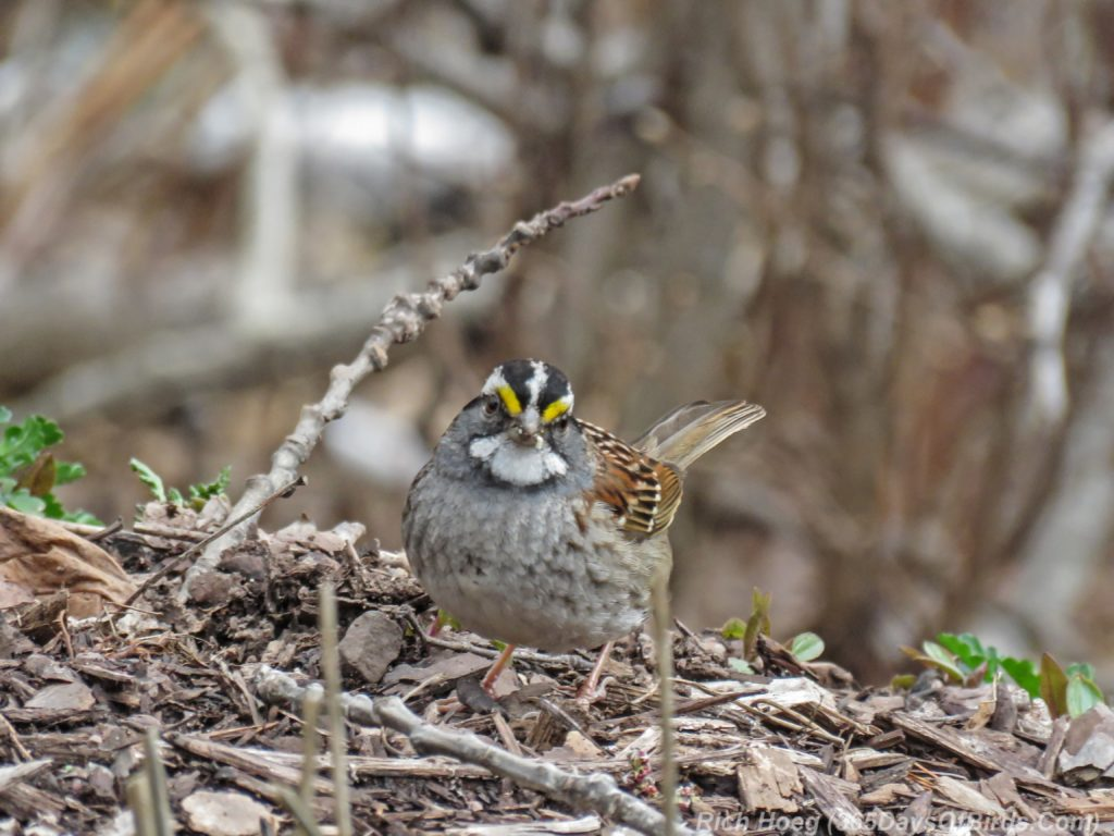 Y3-M04-Amity-Creek-White-Throated-Sparrow-2