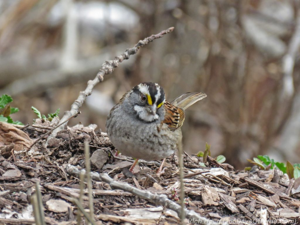 Y3-M04-Amity-Creek-White-Throated-Sparrow-3