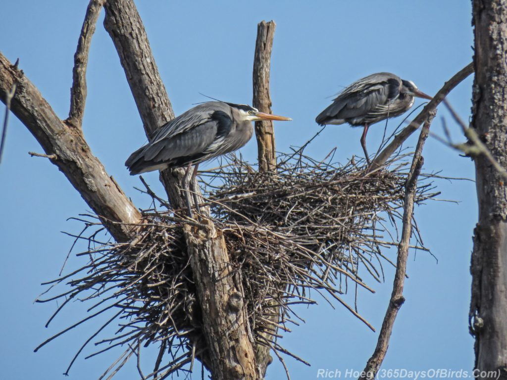 Y3-M04-Canosia-Great-Blue-Heron-2-Rookery-Nests