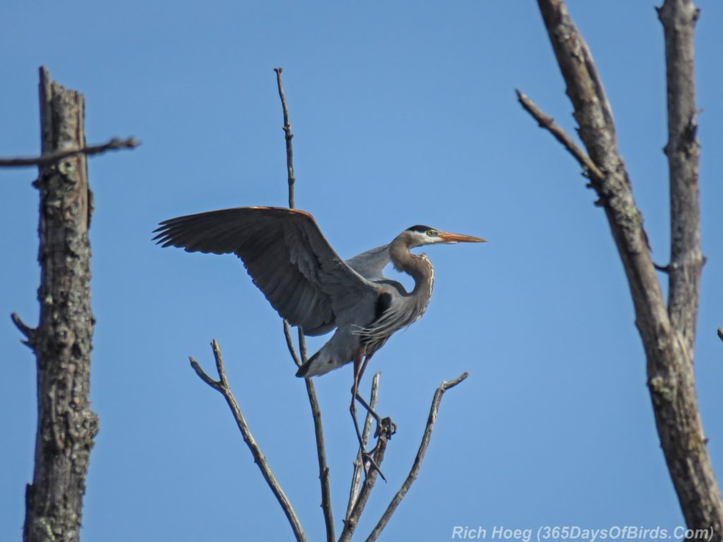 Y3-M04-Canosia-Great-Blue-Heron-7-Takeoff