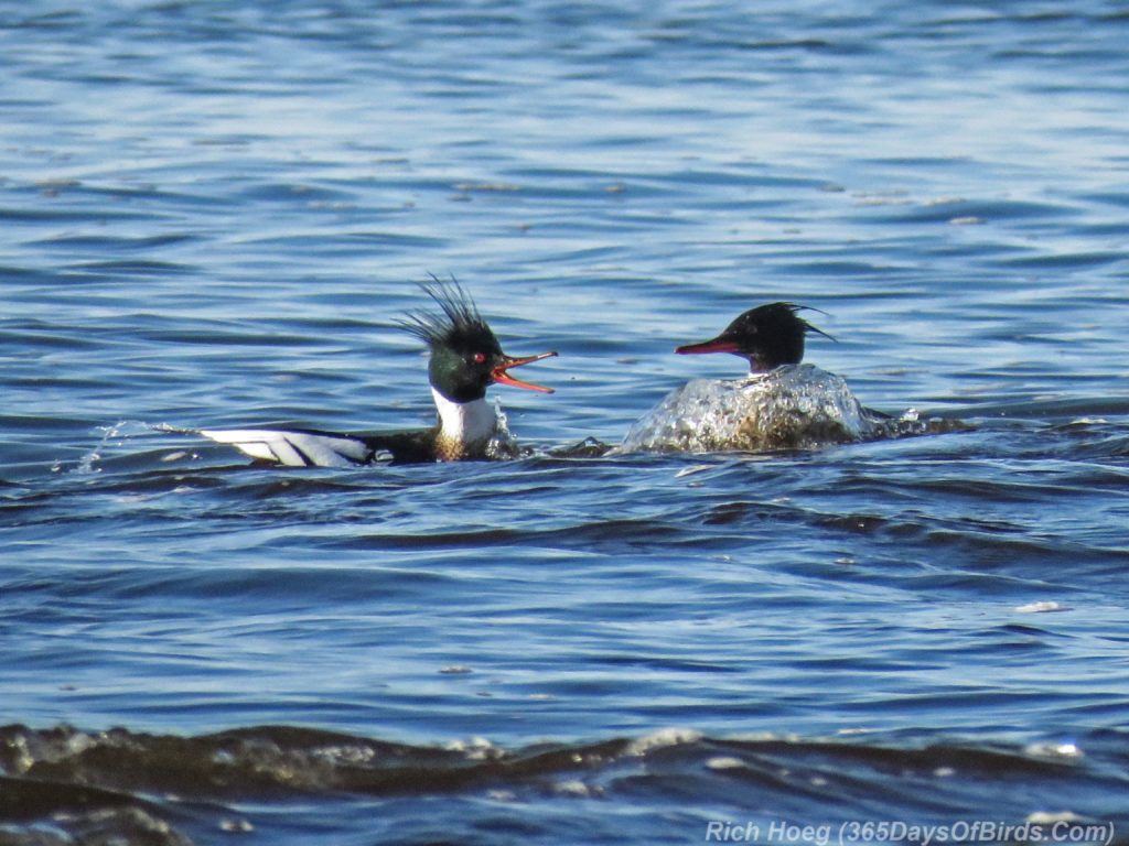 Y3-M04-Lester-River-Merganser-Morning-02-Red-Breasted-Quacking
