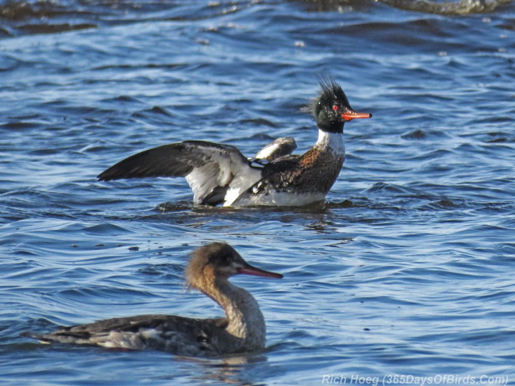 Y3-M04-Lester-River-Merganser-Morning-04-Red-Breasted-Flapping