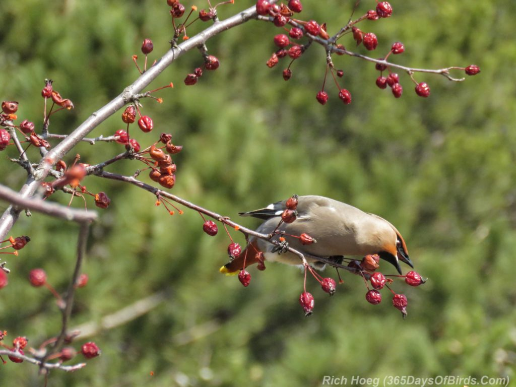 Y3-M04-Park-Point-Bohemian-Waxwings-Eating-Berries-1