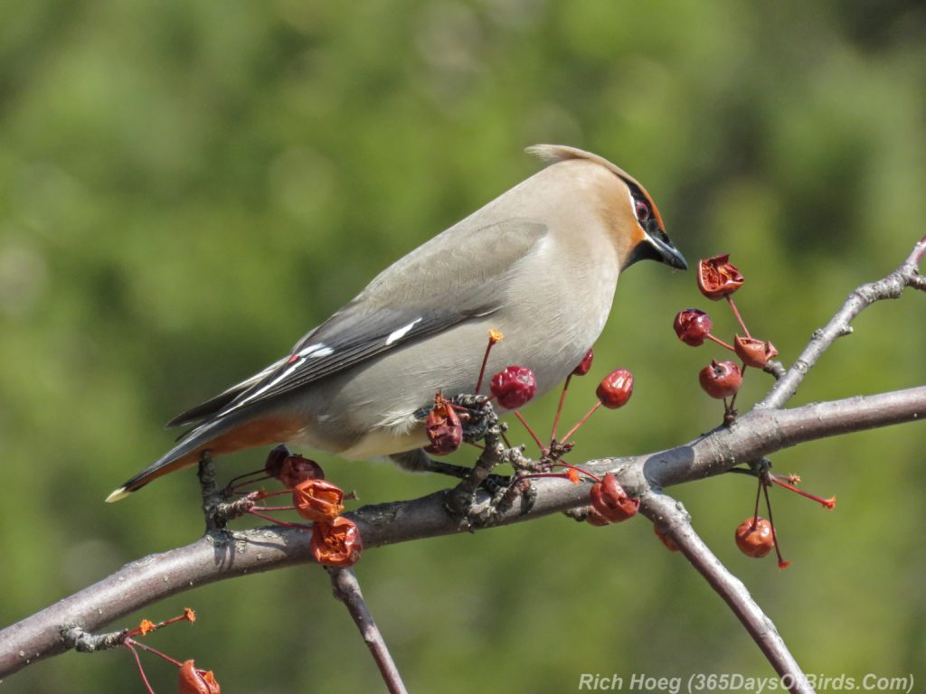 Y3-M04-Park-Point-Bohemian-Waxwings-Inspecting-1