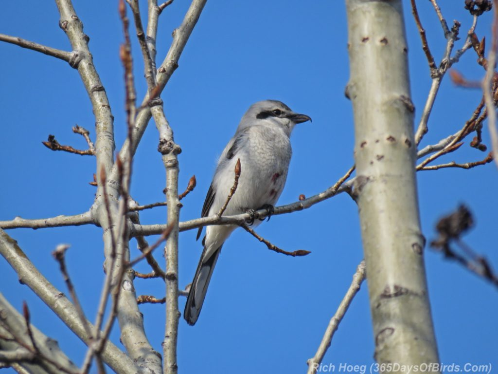 Y3-M04-Park-Point-Northern-Shrike-2