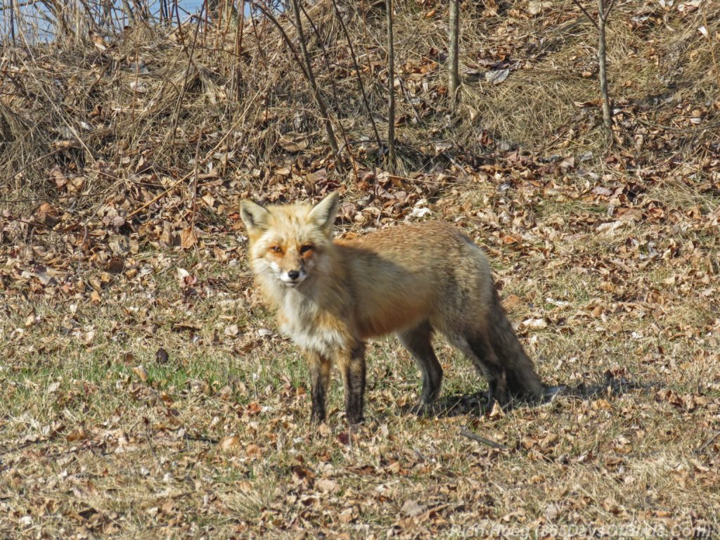 Y3-M04-Park-Point-Red-Fox-4
