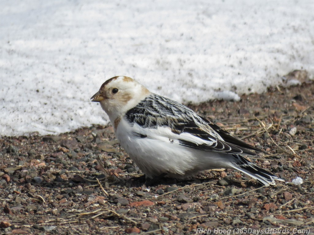 Y3-M04-Sand-River-Snow-Bunting-2