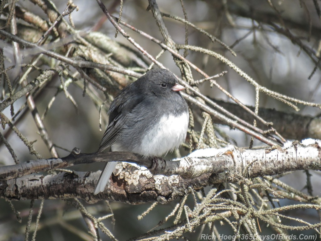 Y3-M04-Slate-Colored-Junco-1