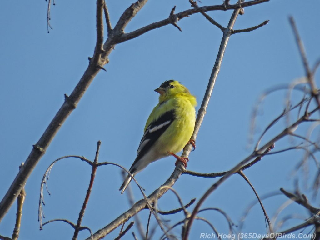 Y3-M04-Western-Waterfront-Trail-American-Goldfinch-1