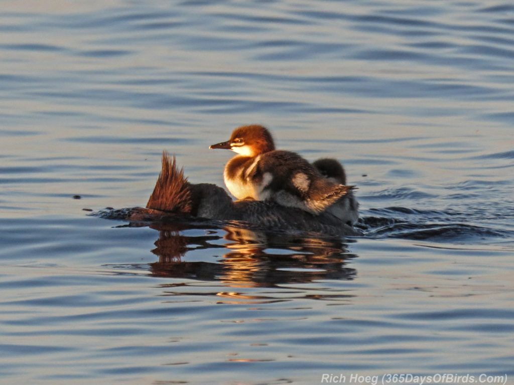 Lester-River-Sunrise-Common-Merganser-Family-1