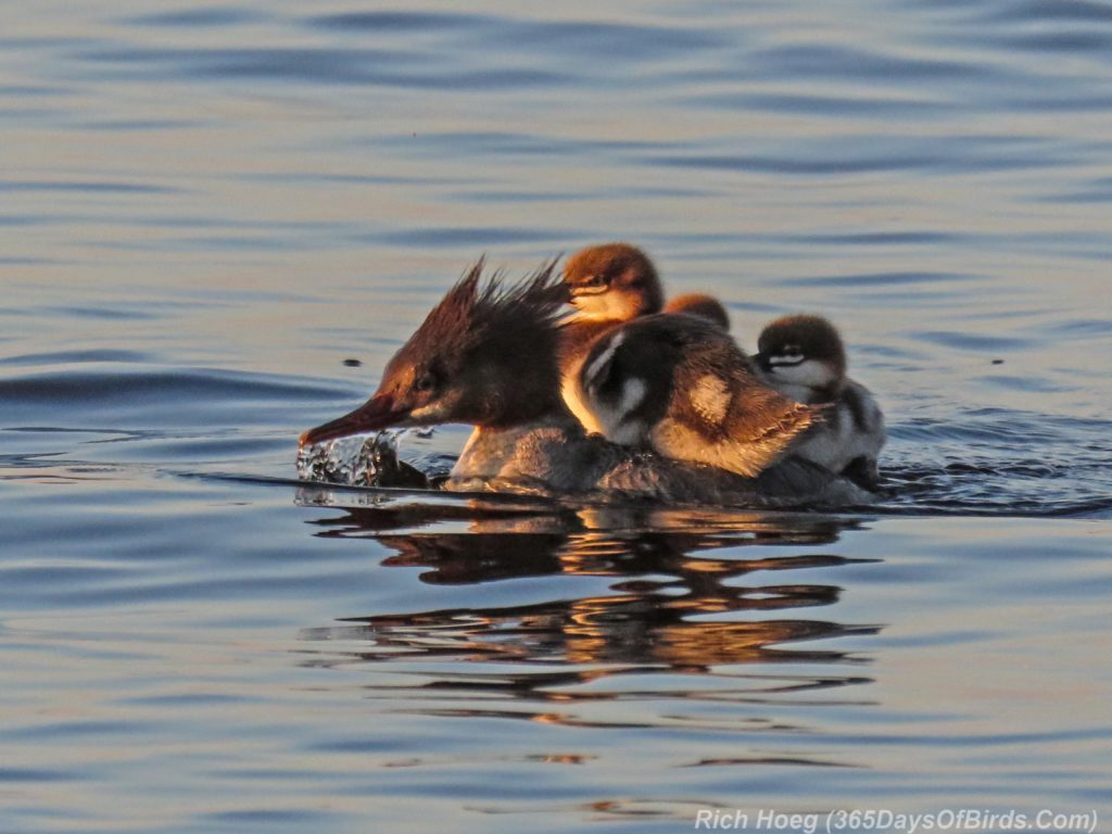 Lester-River-Sunrise-Common-Merganser-Family-2