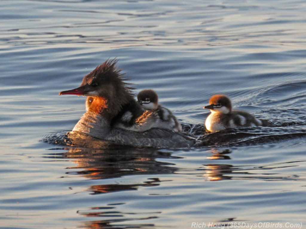 Lester-River-Sunrise-Common-Merganser-Family-3